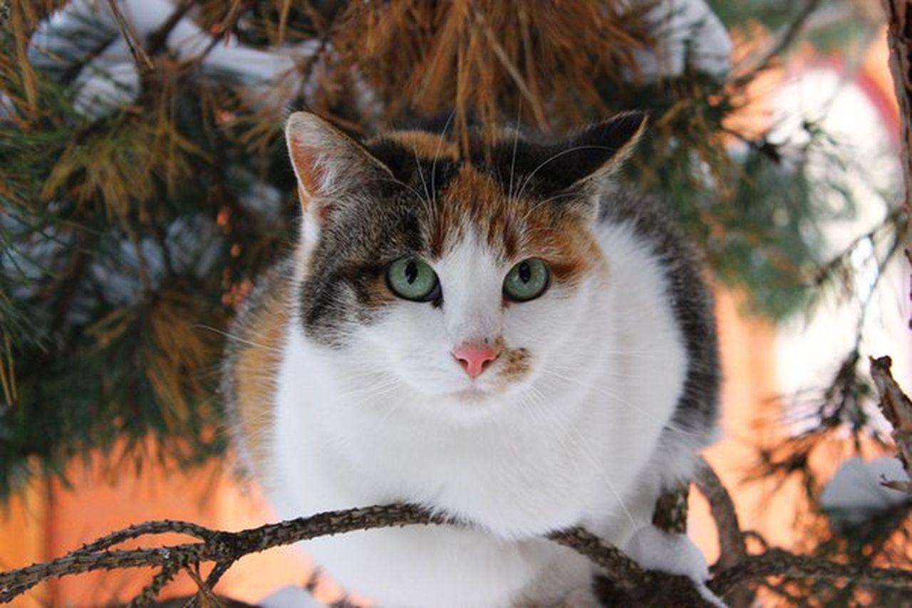 кошка снег зима лес и природа ель ветка дерево хищник глаза  зеленый Иголки Засада Время утро