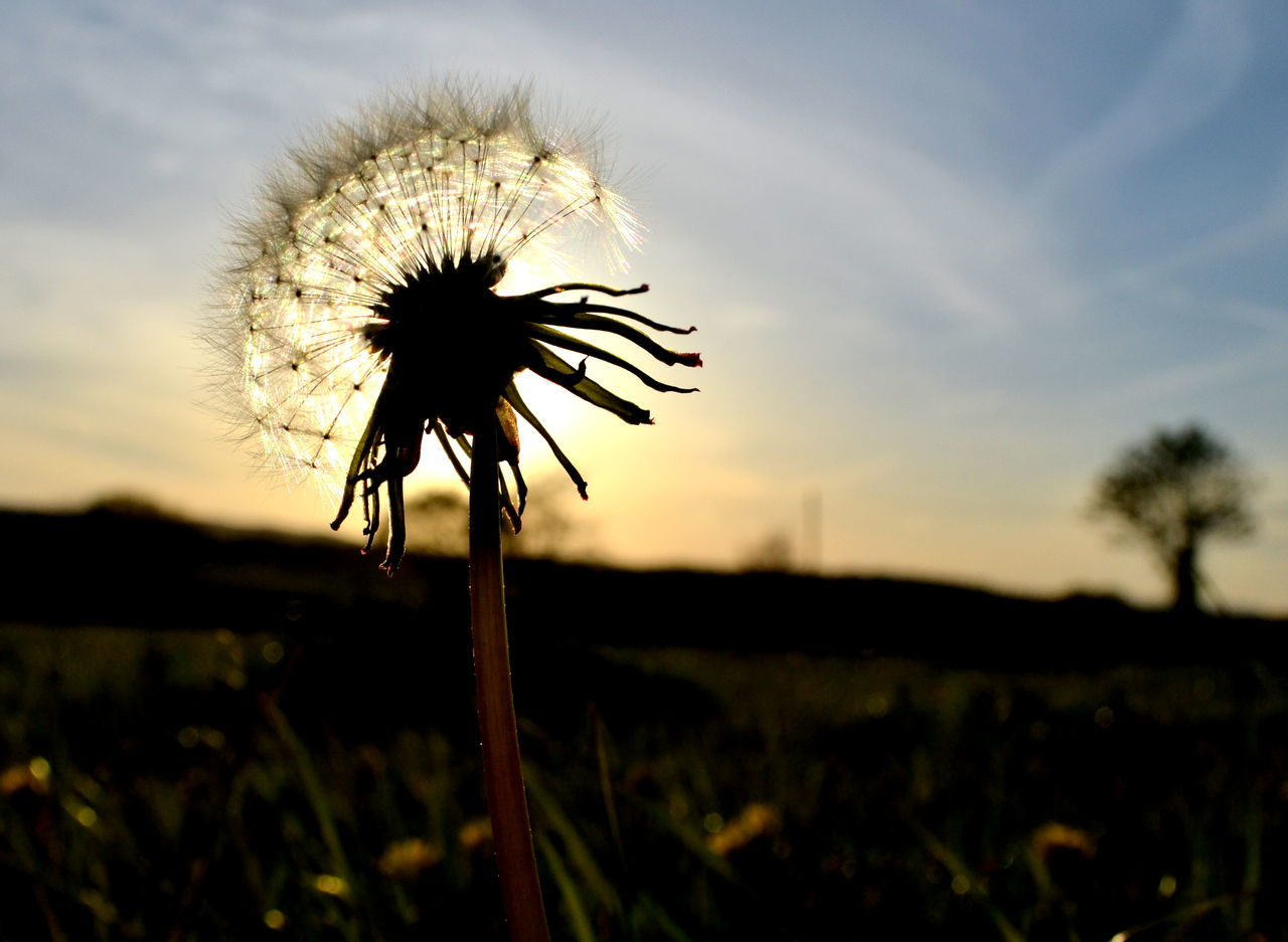 flower, nature, growth, plant, beauty in nature, sunset, fragility, dandelion, flower head, stem, outdoors, no people, field, focus on foreground, freshness, sky, petal, close-up, silhouette, blooming, day, thistle