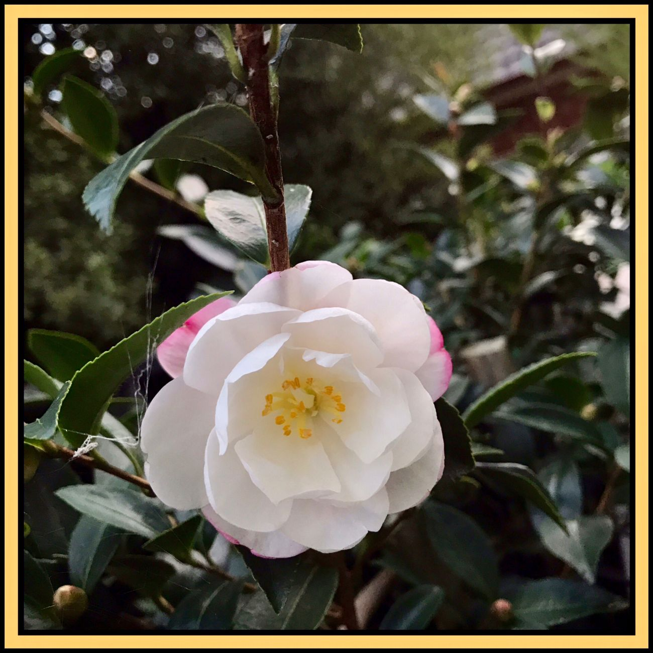 camellia flower in bloom 🌸🍃🌸 Camellia Flower Camellia Flowers Flowers,Plants & Garden Flowers, Nature And Beauty Flower Collection 🌸🍃🌸