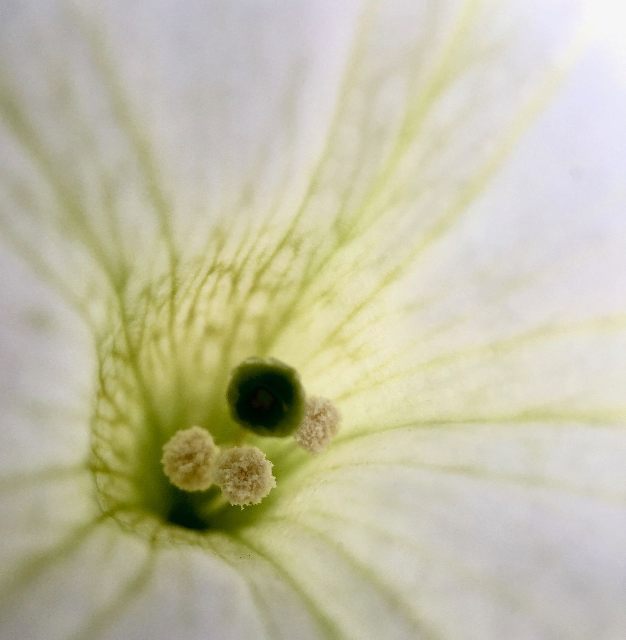 Close-up Flower Flower Head Focus Object Fragility Macro Maximum Closeness Nature Pistil Plant Stamen White