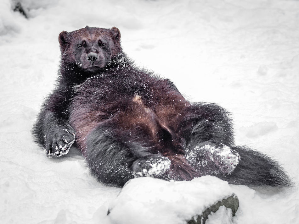 Animal Themes No People One Animal Vielfrass Wintertime Wolverine Wolverine In Winter Zoology