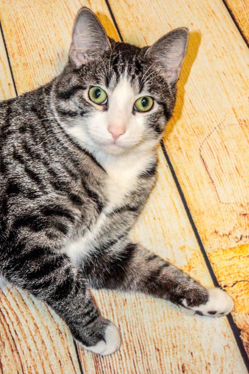 domestic cat, pets, domestic animals, feline, animal themes, one animal, mammal, no people, sitting, portrait, looking at camera, indoors, day, close-up