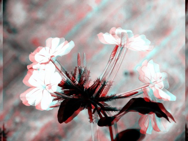 Life goes on!! (Collection) 3D Art 3D Effect 3d Rendering Black Black & White Black And White Black And White Collection  Black And White Photography Blackandwhite Blue Close-up Day Floral Flower Flower Collection Flowers Leaf Nature No People Outdoors Red White