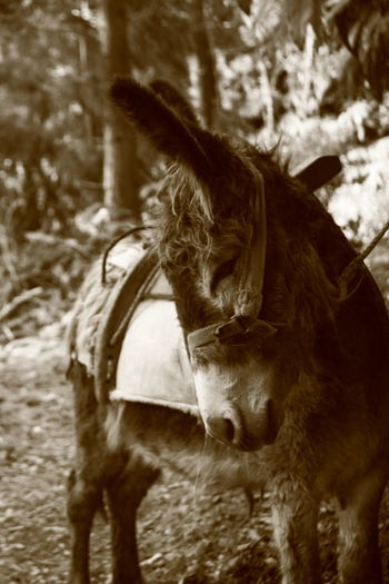 Animal Animal Behavior Animal Hair Animal Head  Animal Themes Day Domestic Animals Donkey Focus On Foreground Graceful Herbivorous Mammal Monochrome Photography No People One Animal Outdoors Saddled Up And Ready To Go Side View Woodlands Trail Zoology