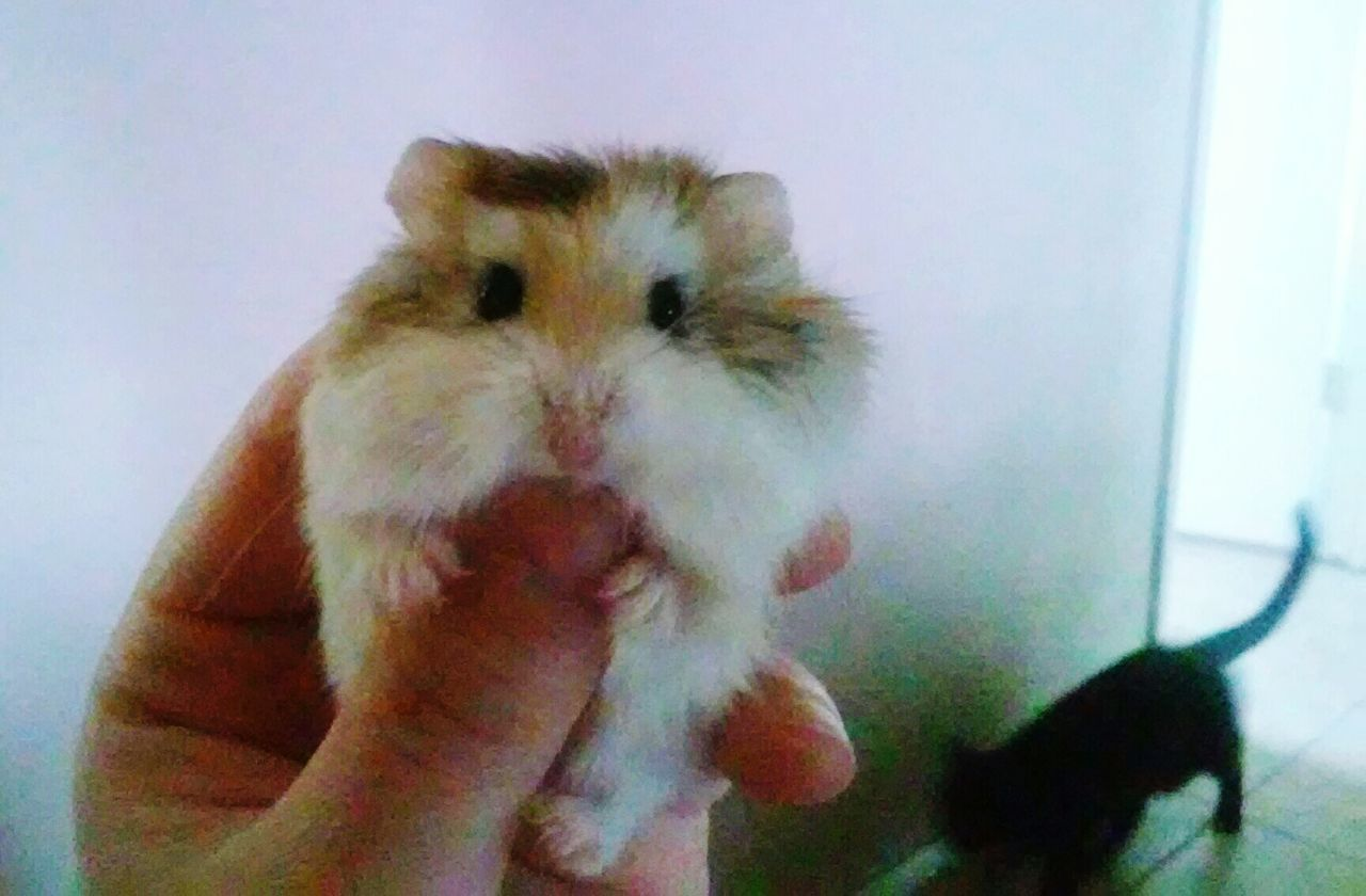 animal themes, one animal, mammal, pets, domestic animals, indoors, human hand, human body part, hamster, one person, real people, day, close-up, people