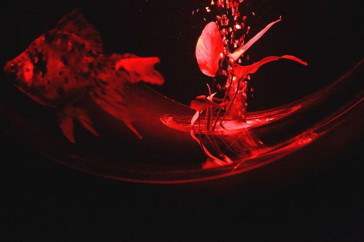 Red Goldfish Art Aquarium2015 Eye4photography  Aquarium Gold Fish EyeEm Best Shots Light And Shadow Light And Shadow