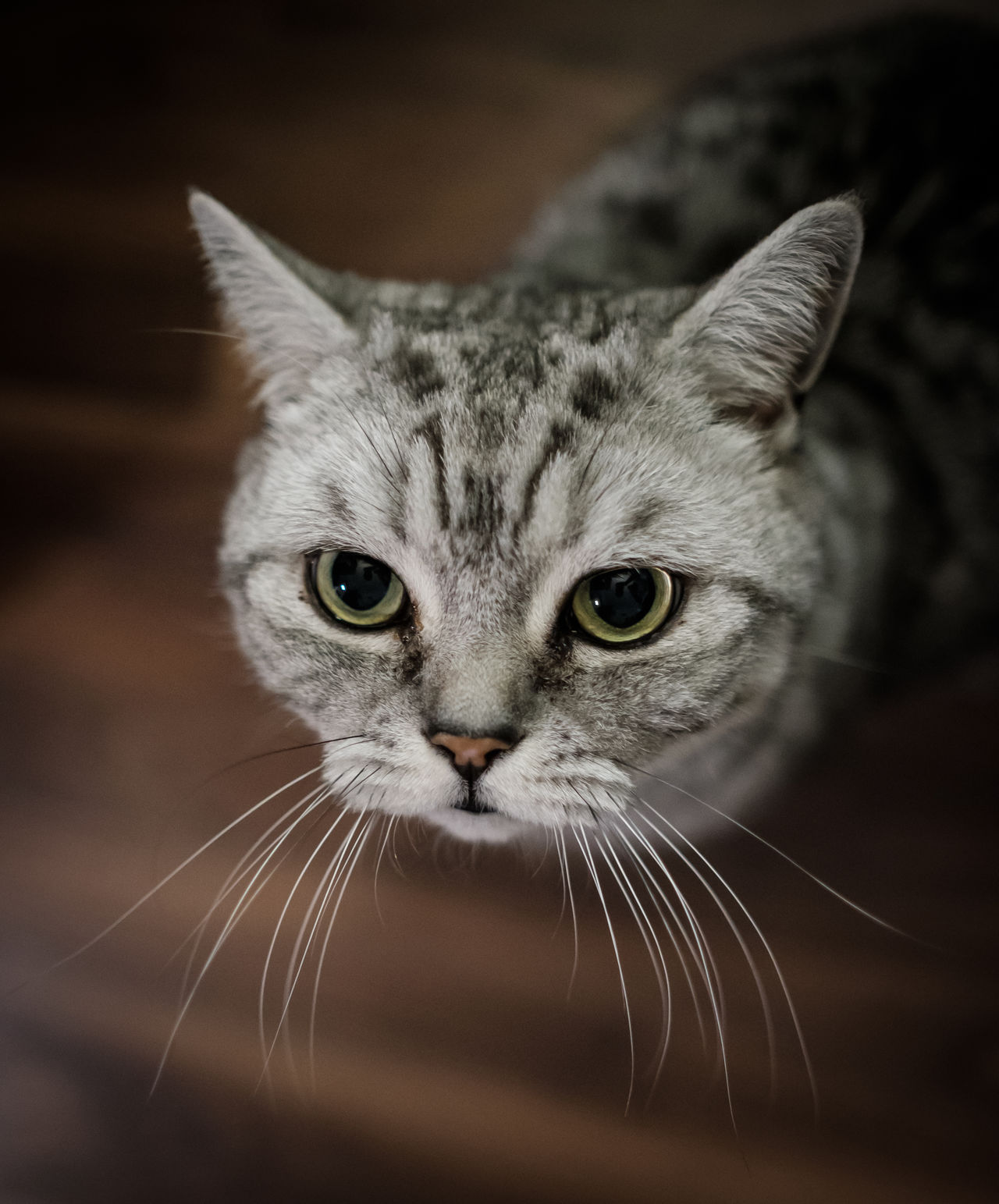 McLovin Animal Themes British Shorthair Close-up Day Domestic Animals Domestic Cat Feline Focus On Foreground Looking At Camera Mammal No People One Animal Outdoors Pets Portrait Tomcat Whisker
