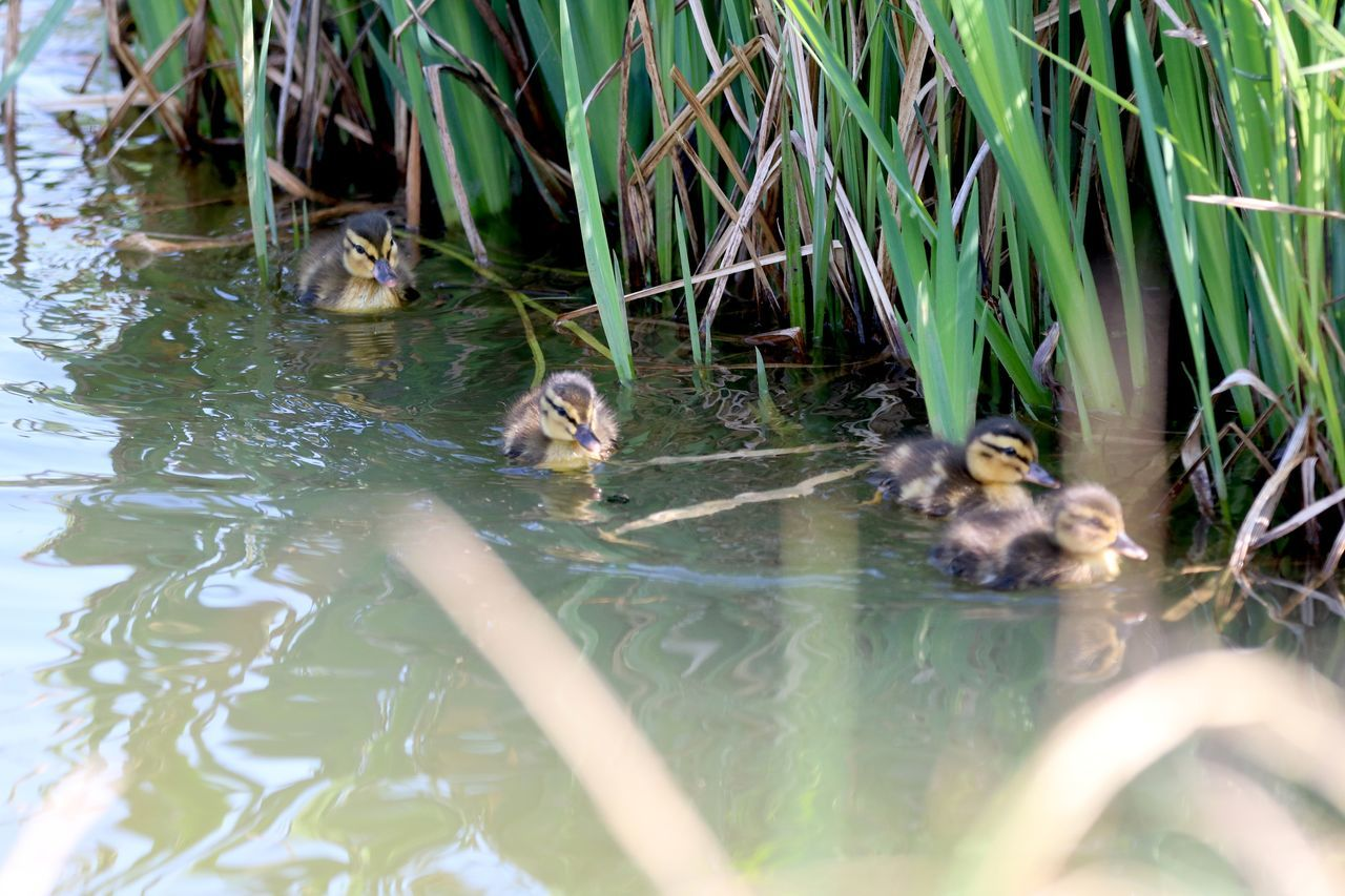 Animal Themes Animals In The Wild Bird Day Ducklings Ducklings Feeding Ducklings Swimming Lake Nature No People Outdoors Rushes Swimming Water