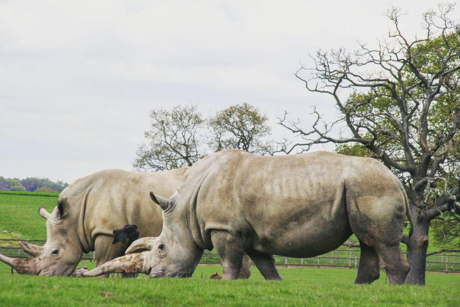 white Rhino Animal Wildlife Animals In The Wild Rhinoceros Animal Themes Safari Animals EyeEmNewHere EyeEmBestPics EyeEmGalley EyeEm Gallery EyeEm Team White Rhino White Rhinoceros Rhinos Horn Rhino Horn