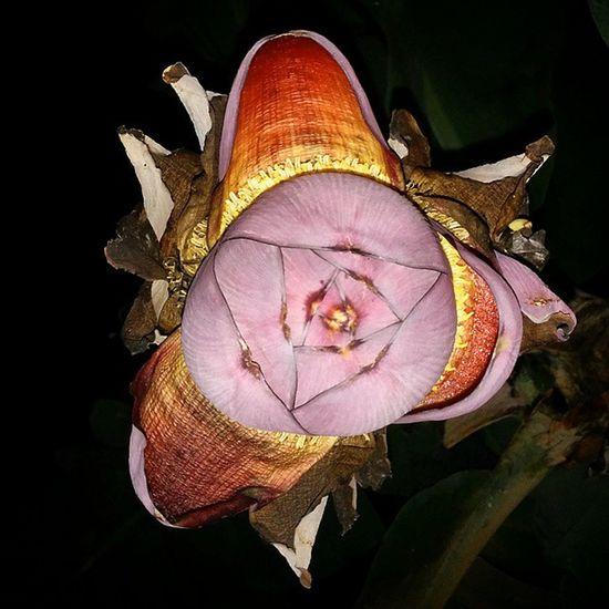 Le baba figue, fleur du bananier, vue du bas... C'est bizarre LaReunion