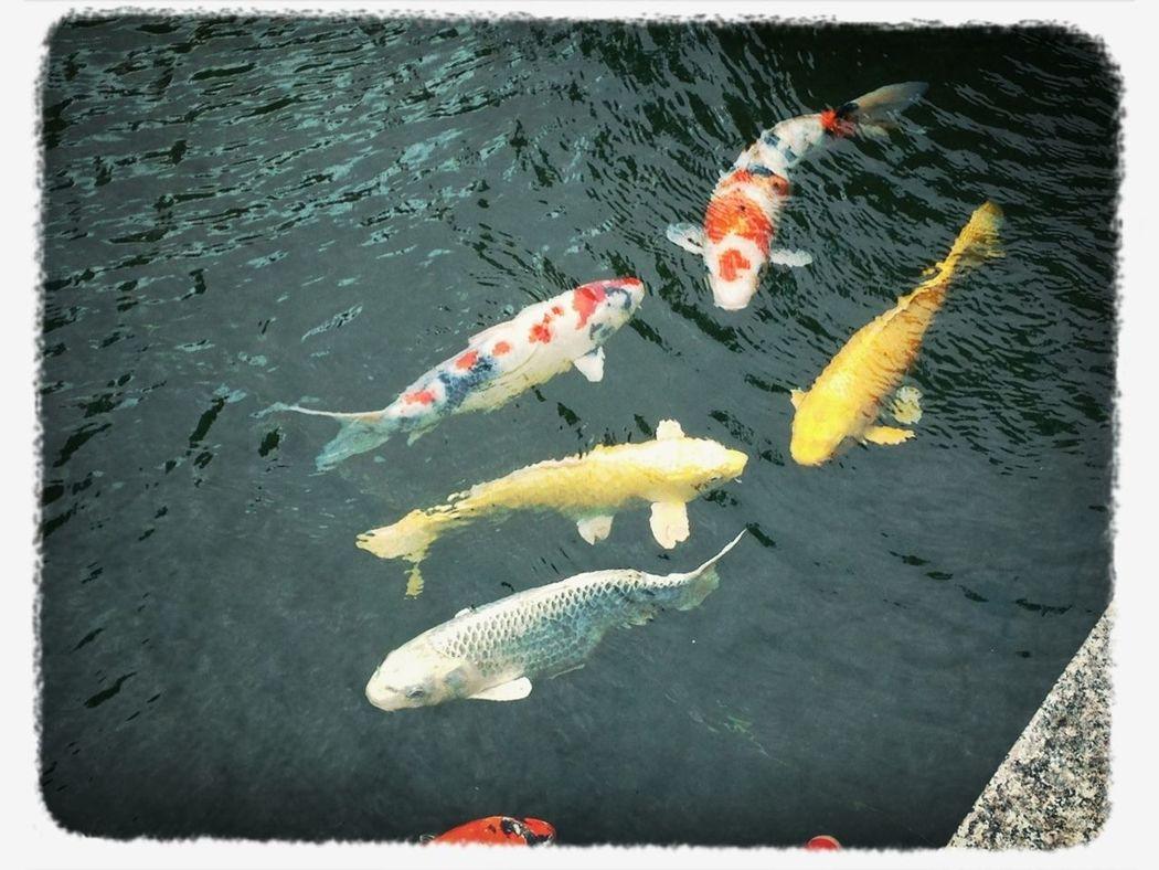 鯉-carp-