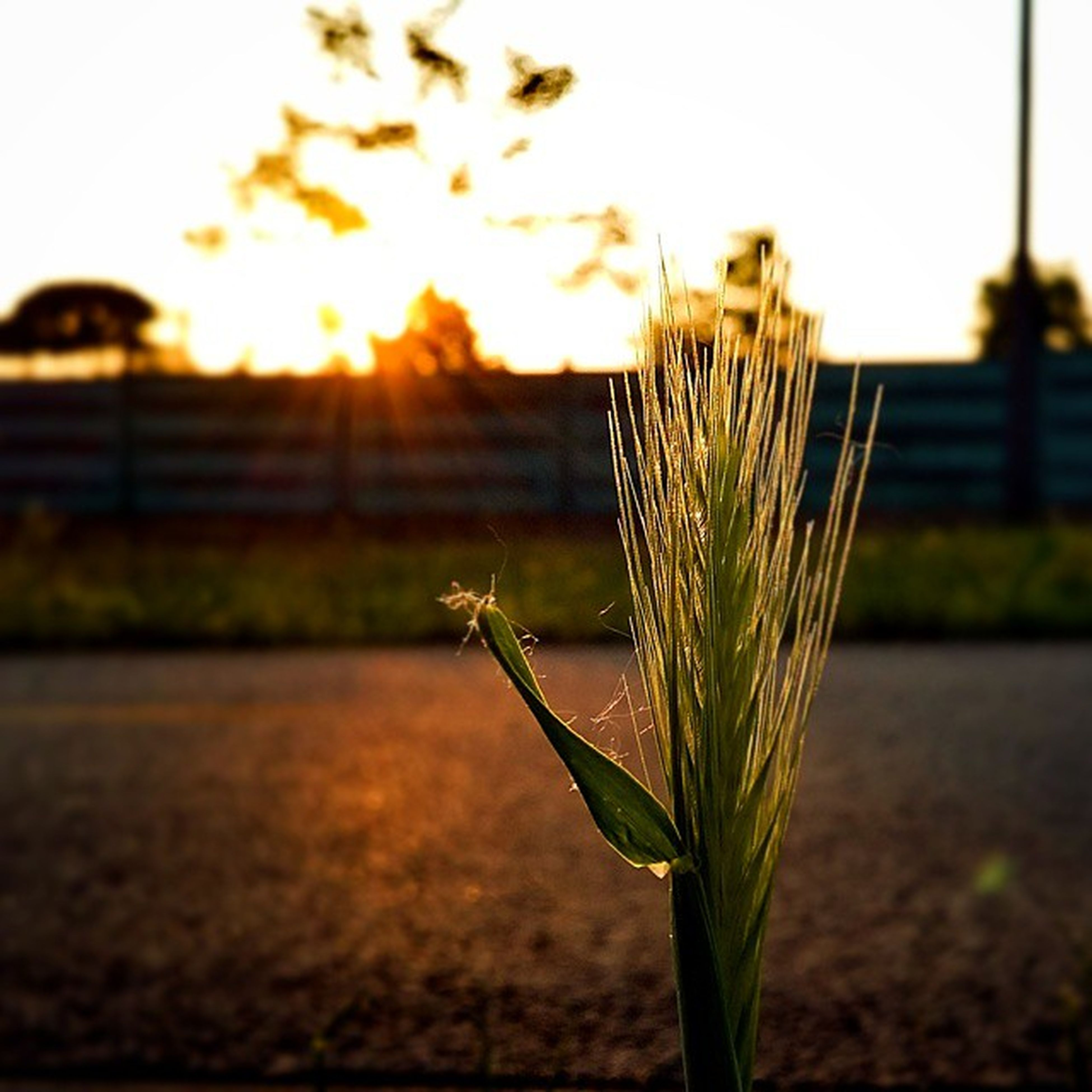 focus on foreground, growth, plant, sunset, close-up, stem, nature, fragility, freshness, selective focus, sun, beauty in nature, flower, field, bud, sunlight, growing, tranquility, outdoors, no people