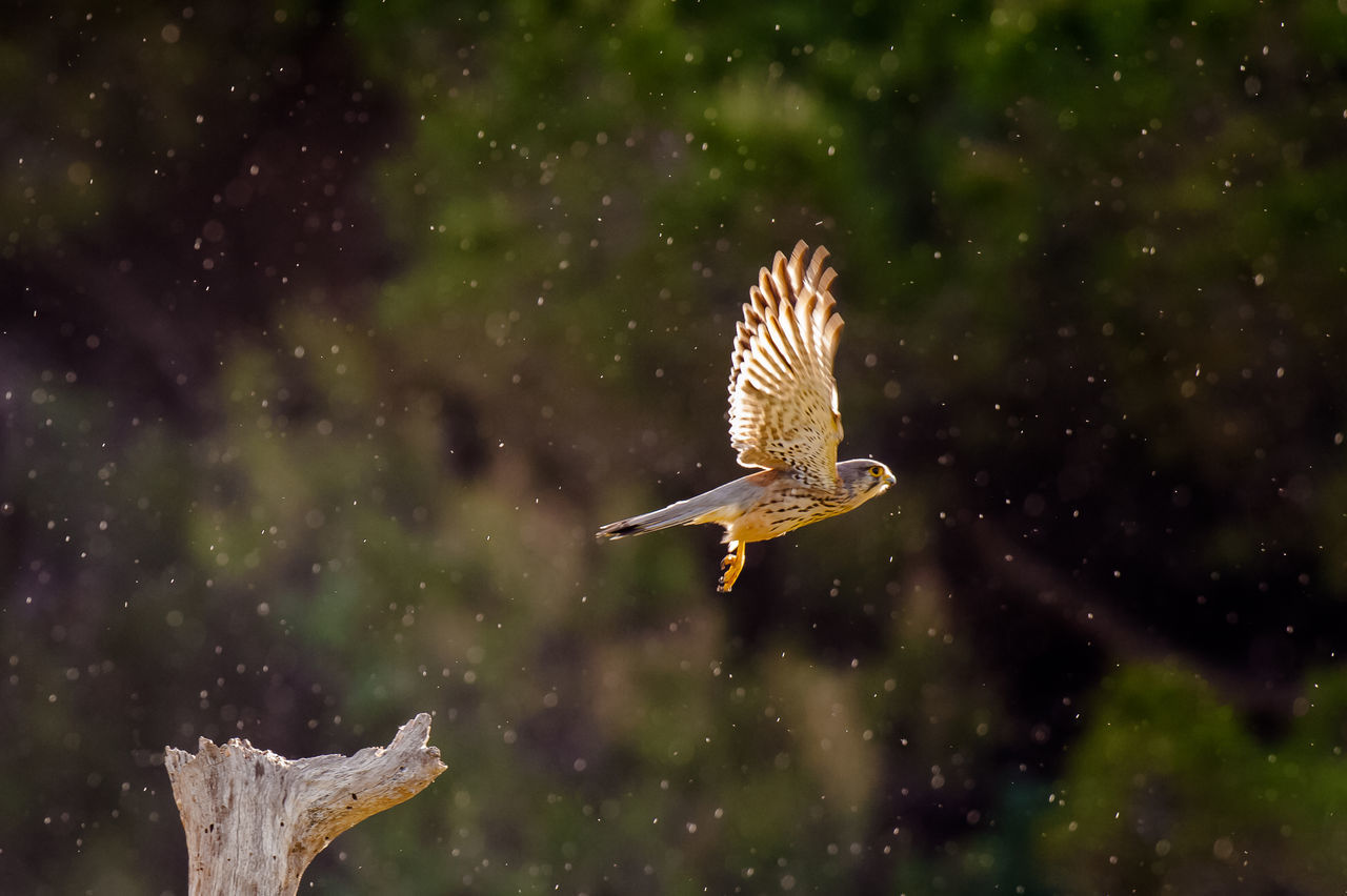 animal themes, one animal, animals in the wild, animal wildlife, nature, focus on foreground, bird, water, no people, spread wings, motion, outdoors, day, beauty in nature, close-up
