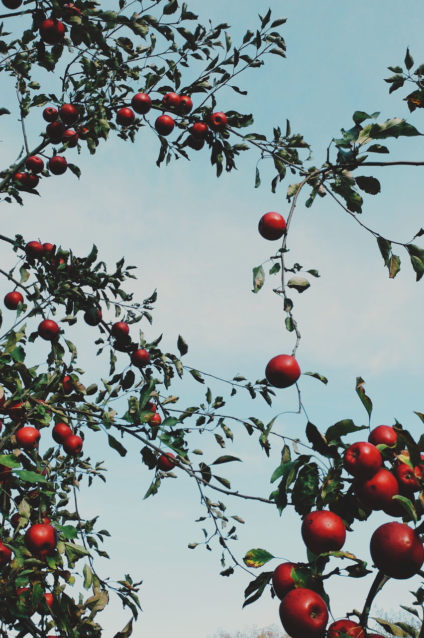 fruit, low angle view, tree, branch, food and drink, growth, freshness, leaf, healthy eating, nature, hanging, food, no people, day, red, outdoors, beauty in nature, sky, close-up