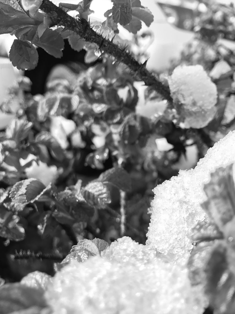 winter, cold temperature, snow, nature, frozen, white color, ice, plant, no people, growth, beauty in nature, close-up, leaf, day, outdoors, ice crystal, fragility, freshness, food