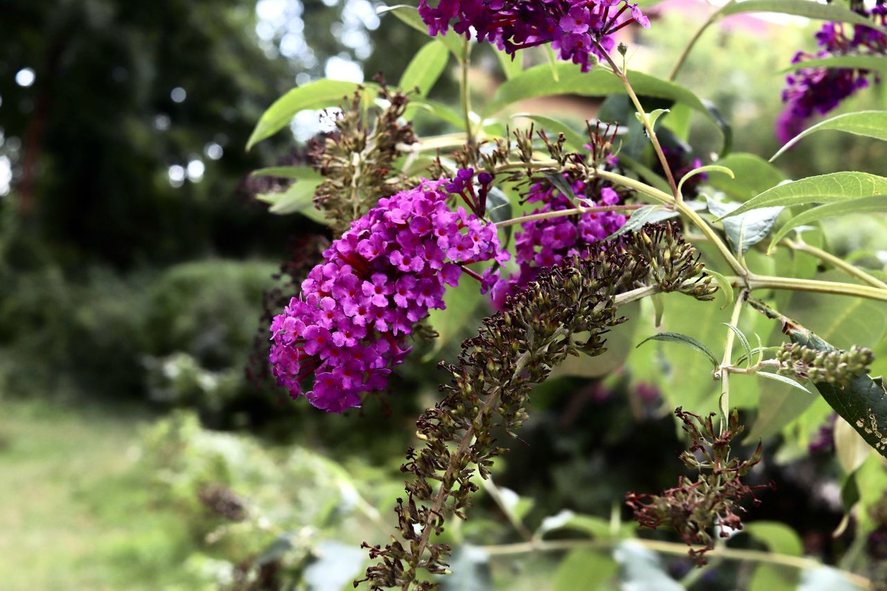 flower, growth, beauty in nature, nature, fragility, plant, freshness, purple, day, outdoors, no people, petal, flower head, springtime, close-up, lilac, blooming, branch, tree, animal themes