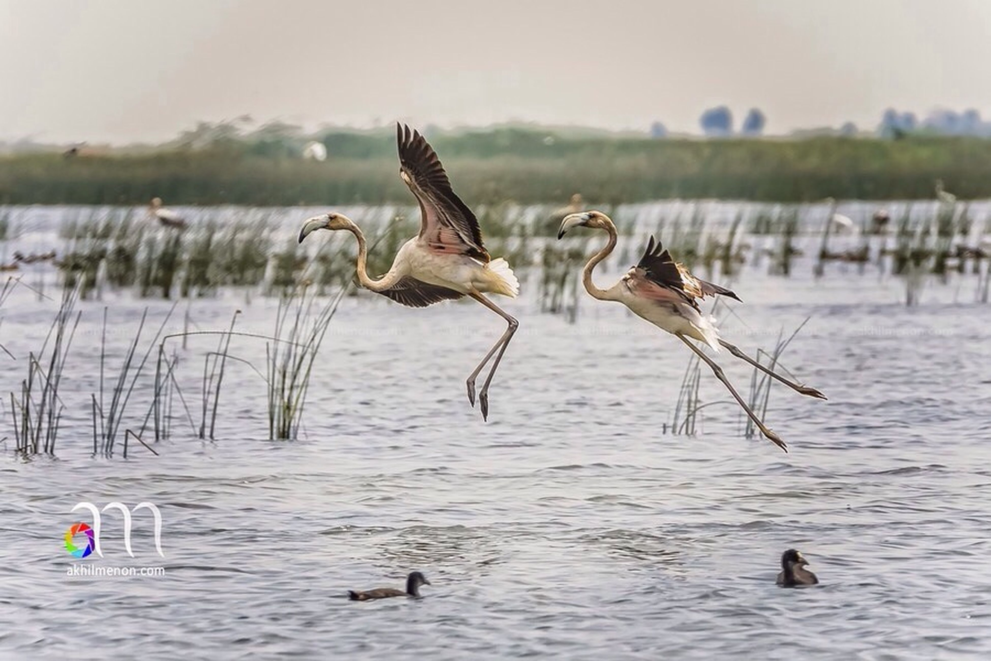 animal themes, animals in the wild, water, bird, wildlife, waterfront, lake, mid-air, flying, spread wings, two animals, river, nature, motion, reflection, full length, rippled, outdoors, day, selective focus