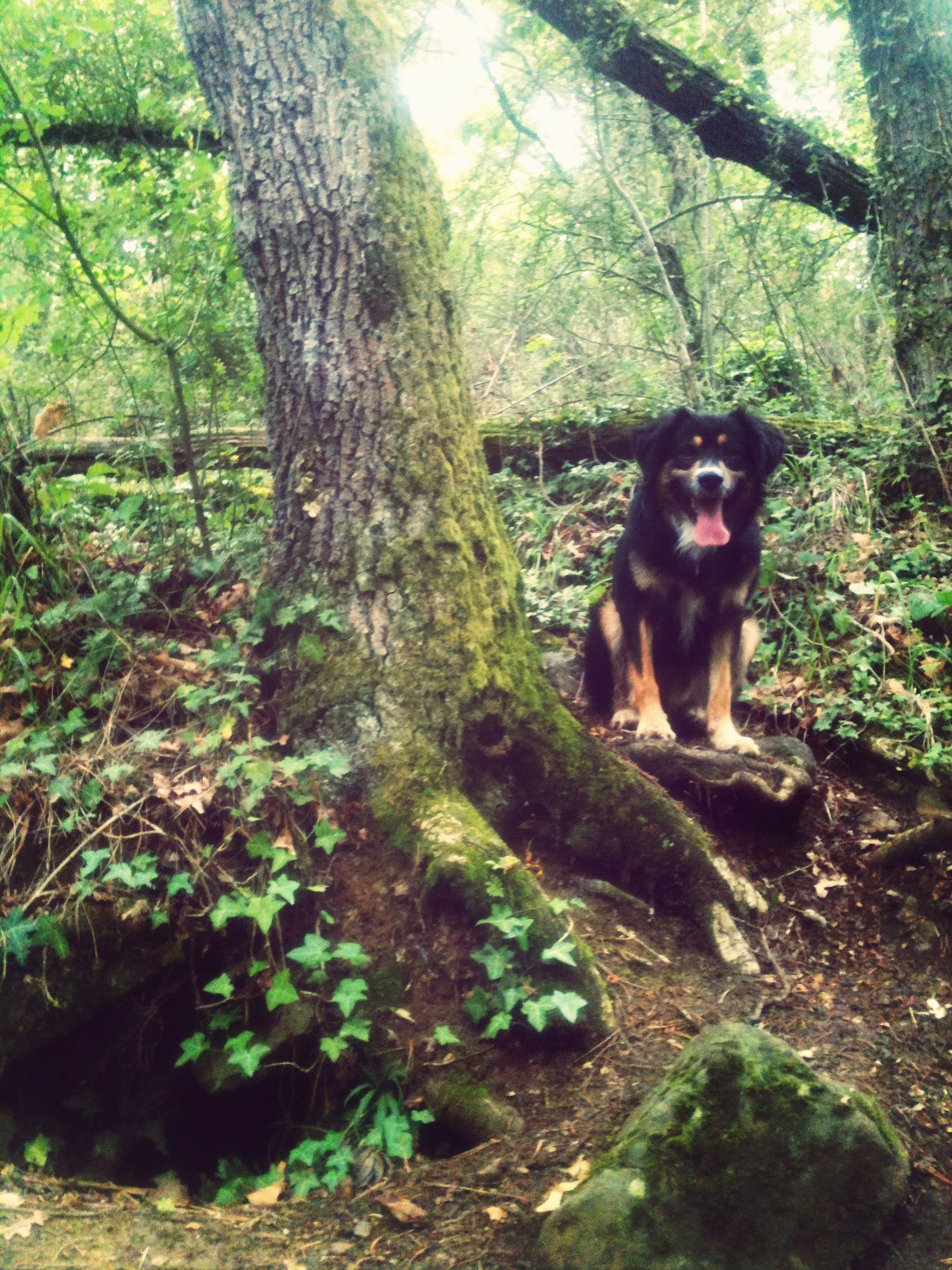 animal themes, one animal, mammal, pets, domestic animals, dog, tree, sitting, relaxation, looking away, forest, portrait, rock - object, plant, full length, outdoors, nature, day, tree trunk