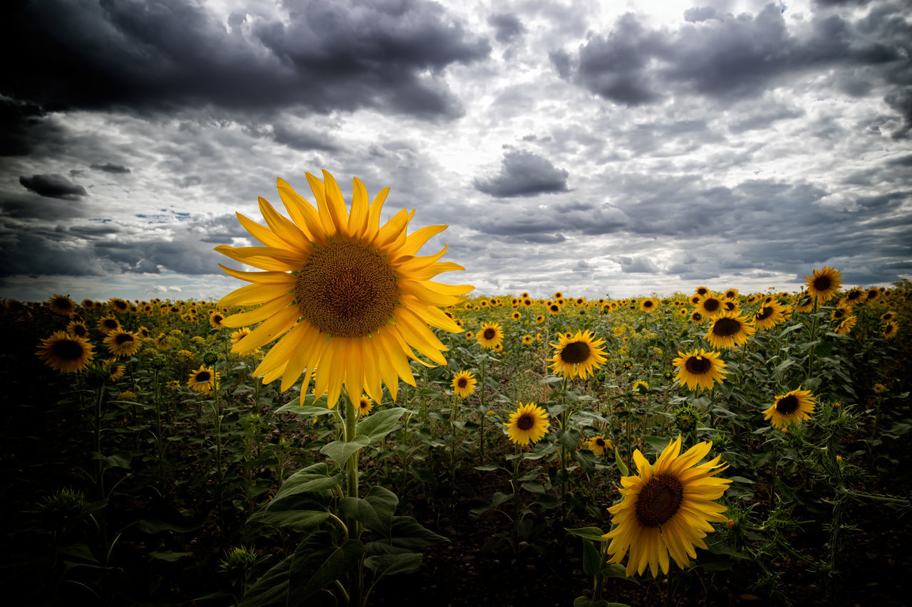 Sunflowers In Field Against Cloudy Sky