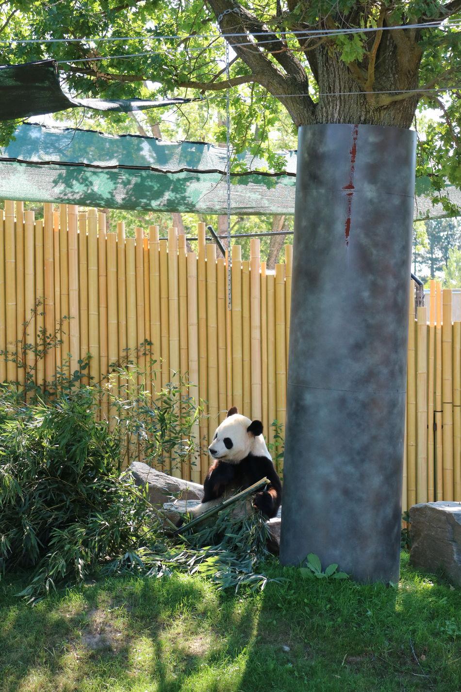 Animal Themes Bamboo Fence Day Grass Grass Mammal Nature No People One Animal Outdoors Panda Bear Toronto Zoo Tree Tree