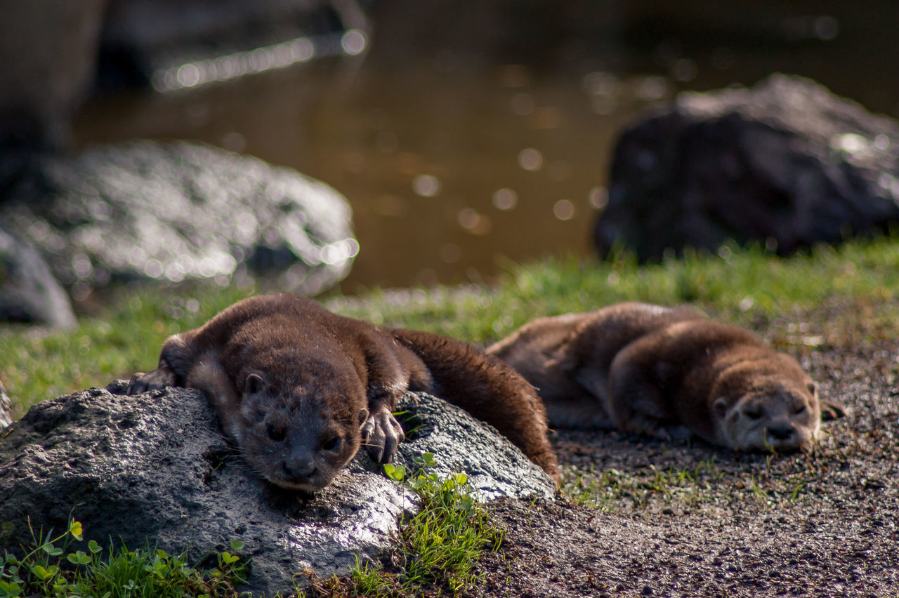 Animal Head  Animal Themes Dirty Domestic Animals Field Focus On Foreground Mammal No People Otter Otters Outdoors Relaxation Resting Zoology