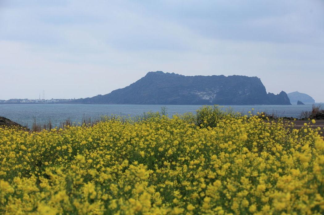 Beauty In Nature Flower JEJU ISLAND  Nature RapeFlowers Seopjikoji Beach Yellow