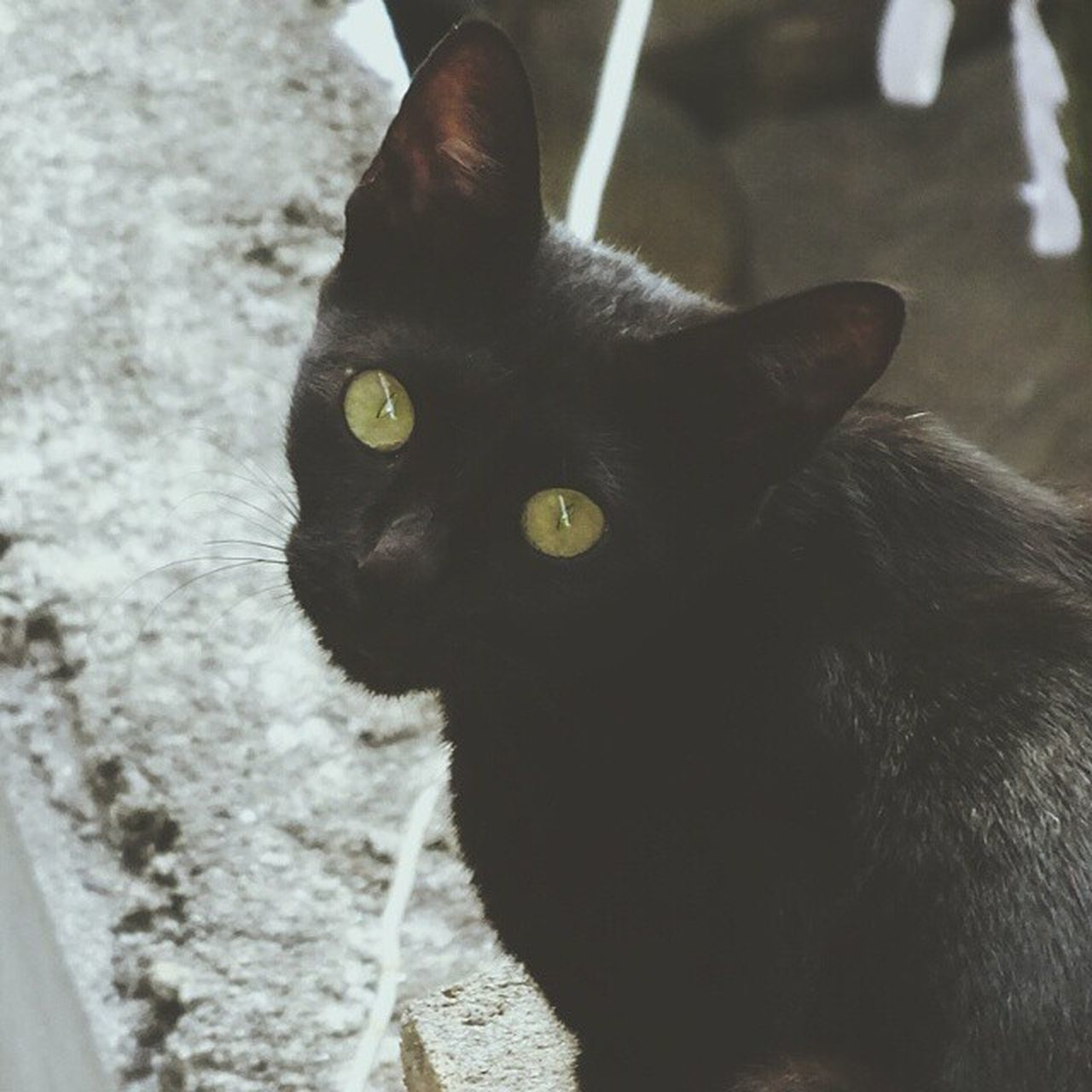 animal themes, one animal, black color, domestic animals, mammal, pets, domestic cat, no people, portrait, close-up, indoors, day, feline, nature