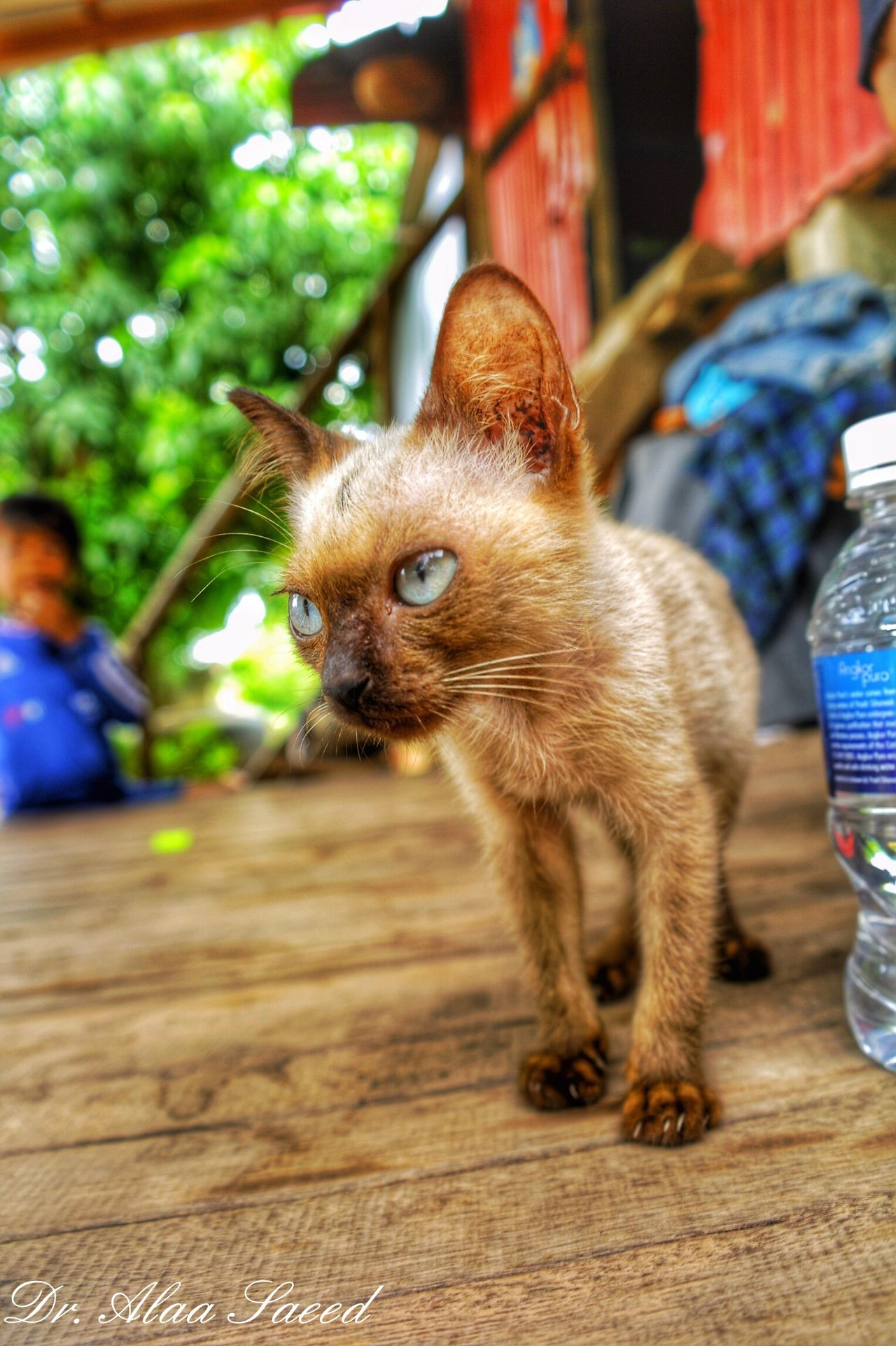 One Animal Mammal Pets Domestic Animals Domestic Cat Selective Focus Focus On Foreground Whisker Feline Day Cat Cambodia Photos Cambodia Looking Zoology Close-up Siamese Cat Siamesecats