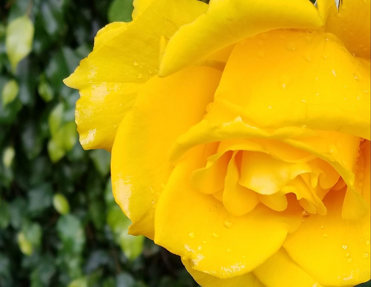 Yellow Flower Close-up Nature Flower Head Fragility Freshness Petal Drop Plant Blossom Outdoors Beauty In Nature No People Day EyeEm Nature Lover Copy Space Meditation EyeEm Best Shots Fine Art Photography This Week On Eyeem Tranquility Yellow Rose Still Life Rainy Days
