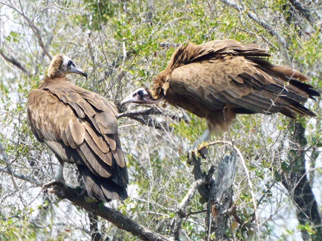 bird, animal wildlife, animals in the wild, animal, branch, animal themes, nature, tree, no people, perching, day, outdoors, vulture, bird of prey, full length, close-up, beauty in nature
