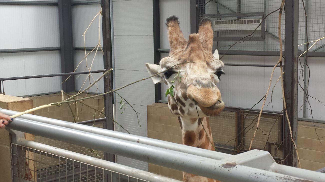 Giraffe Giraffe♥