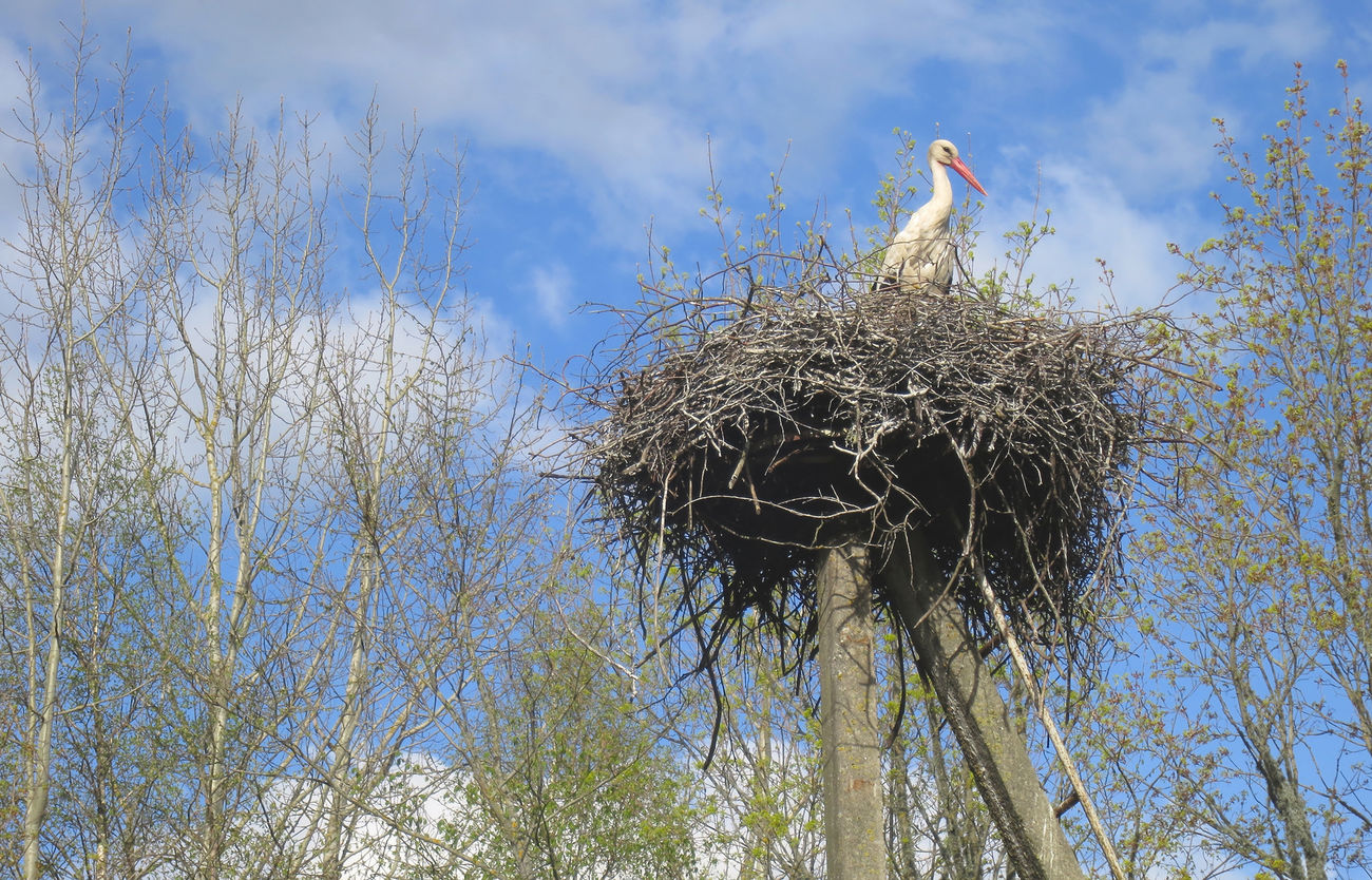 Stork nest in Estonia Ciconia Ciconia Cigueña Cigüeña Blanca Cigüeñas Estonia Nature Nido De Cigüeña Outdoors Rural Scene Spring Spring Has Arrived Springtime Stork Stork Nest Storks Nest Toonekurg
