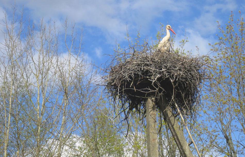 Stork nest in Estonia Ciconia Ciconia Cigueña Cigüeña Blanca Cigüeñas Estonia Nature Nido De Cigüeña Outdoors Rural Scene Spring Spring Has Arrived Springtime Stork Stork Nest Storks Nest Toonekurg