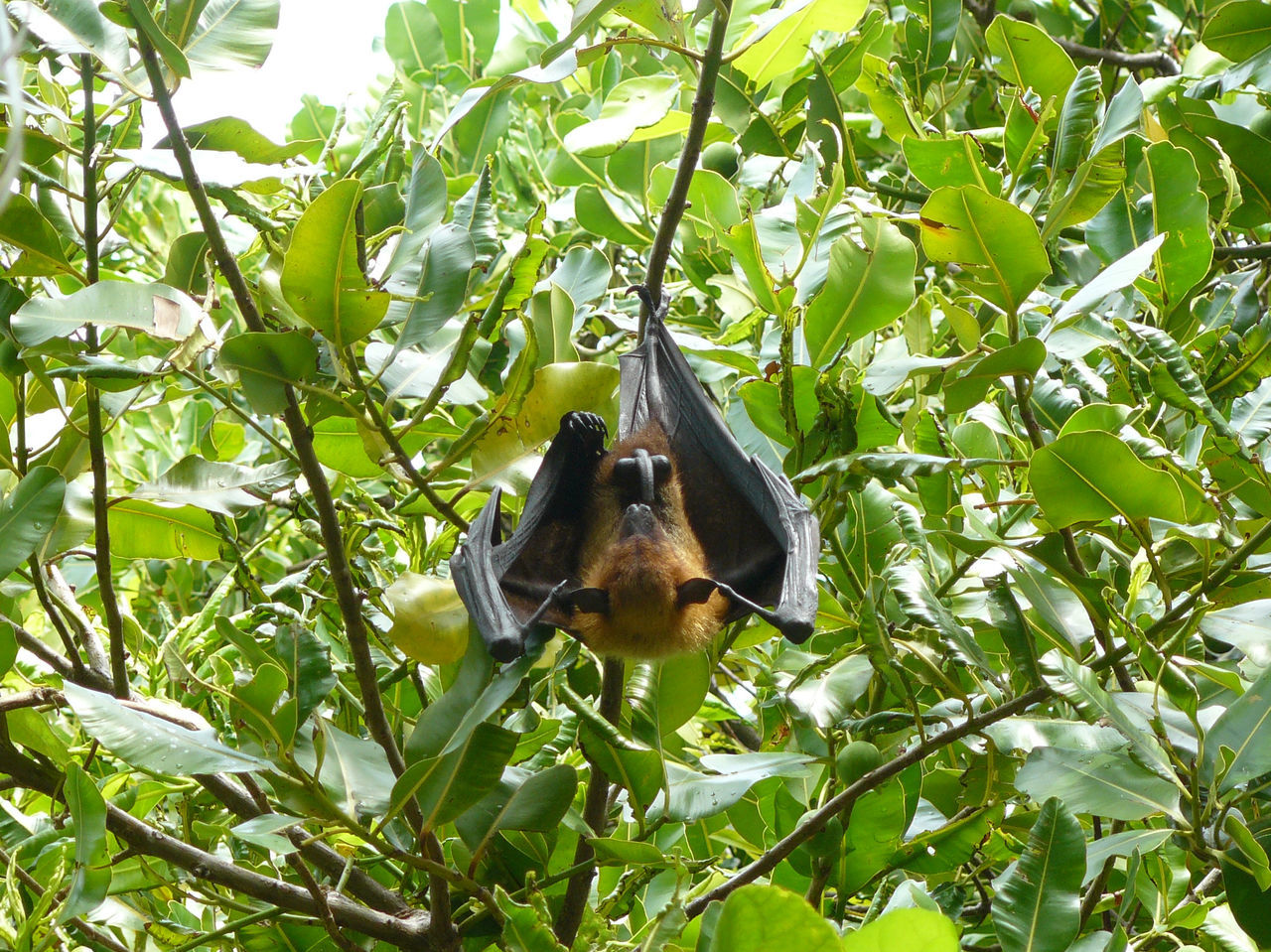 Beautiful stock photos of bat, Animal Themes, Animals In The Wild, Bat - Animal, Beauty In Nature