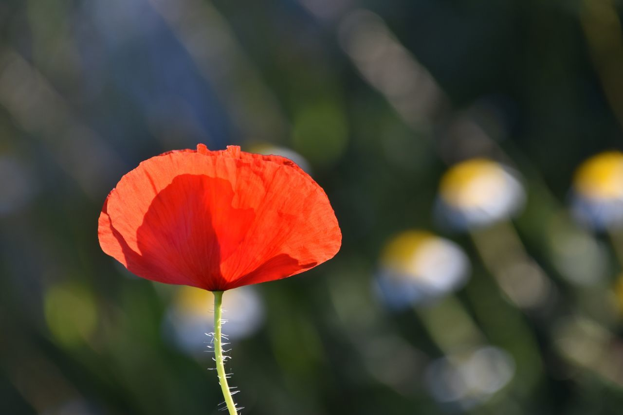 Poppy Exceptional Photographs Bokeh Let's Do It Chic! EyeEm Best Shots Respect For The Good Taste Flower Petal Growth Beauty In Nature Nature Flower Head Fragility Red Blooming Focus On Foreground Freshness Outdoors Day Plant No People Close-up