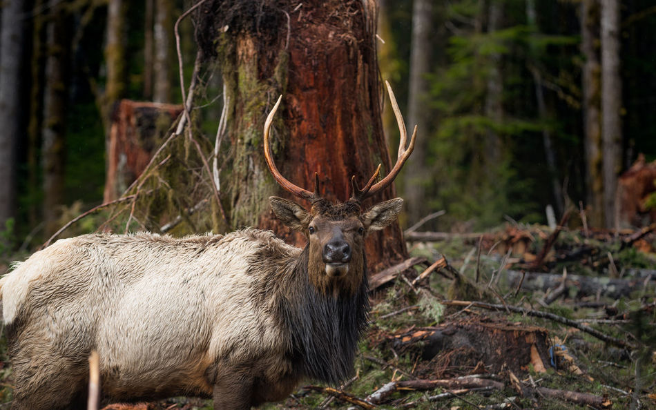 Bull Roosevelt Elk on Vancouver Island Animal Themes Antlers Bull Elk Close-up Day Domestic Animals Elk Ełk Focus On Foreground Forest Mammal Nature No People One Animal Outdoors Roosevelt Elk Standing Tree