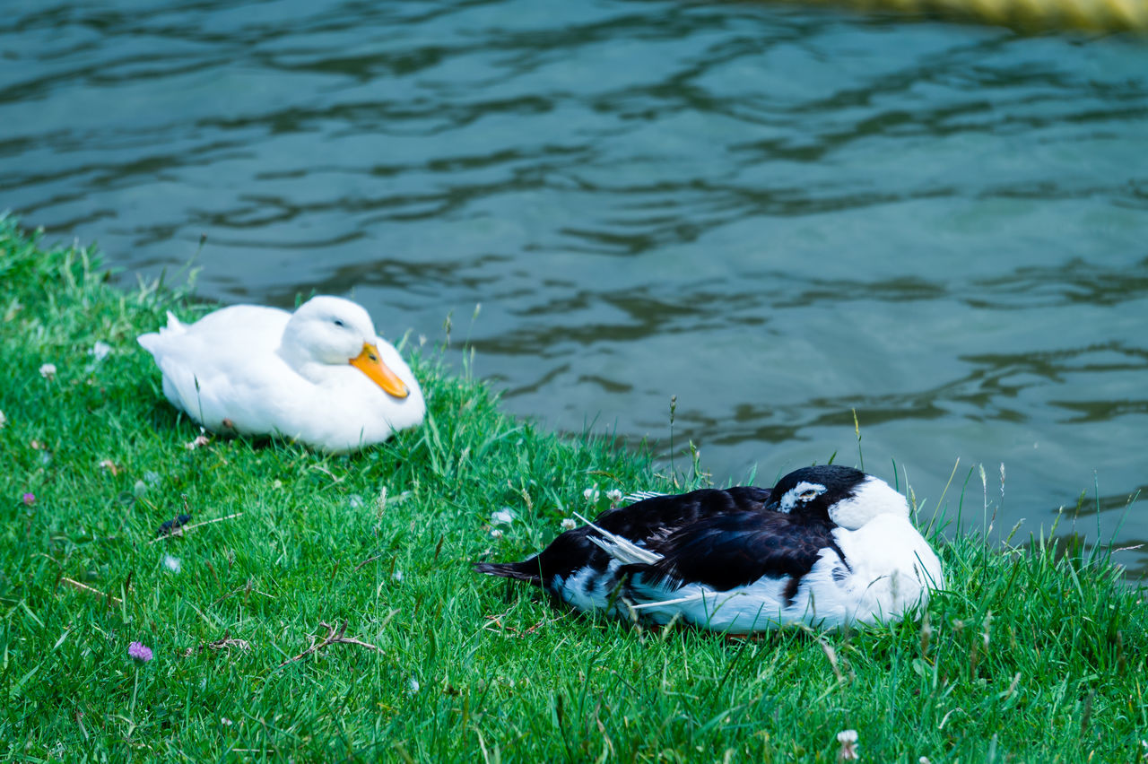 bird, animal themes, duck, nature, grass, animals in the wild, lake, water, day, no people, water bird, outdoors, animal wildlife, swan, swimming, beauty in nature