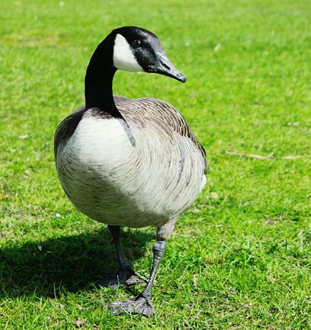 Photography Animal Photography Goose Goose Model Hello World Cheese! Enjoying Life Nature Canont3i Spring Beautiful Simple