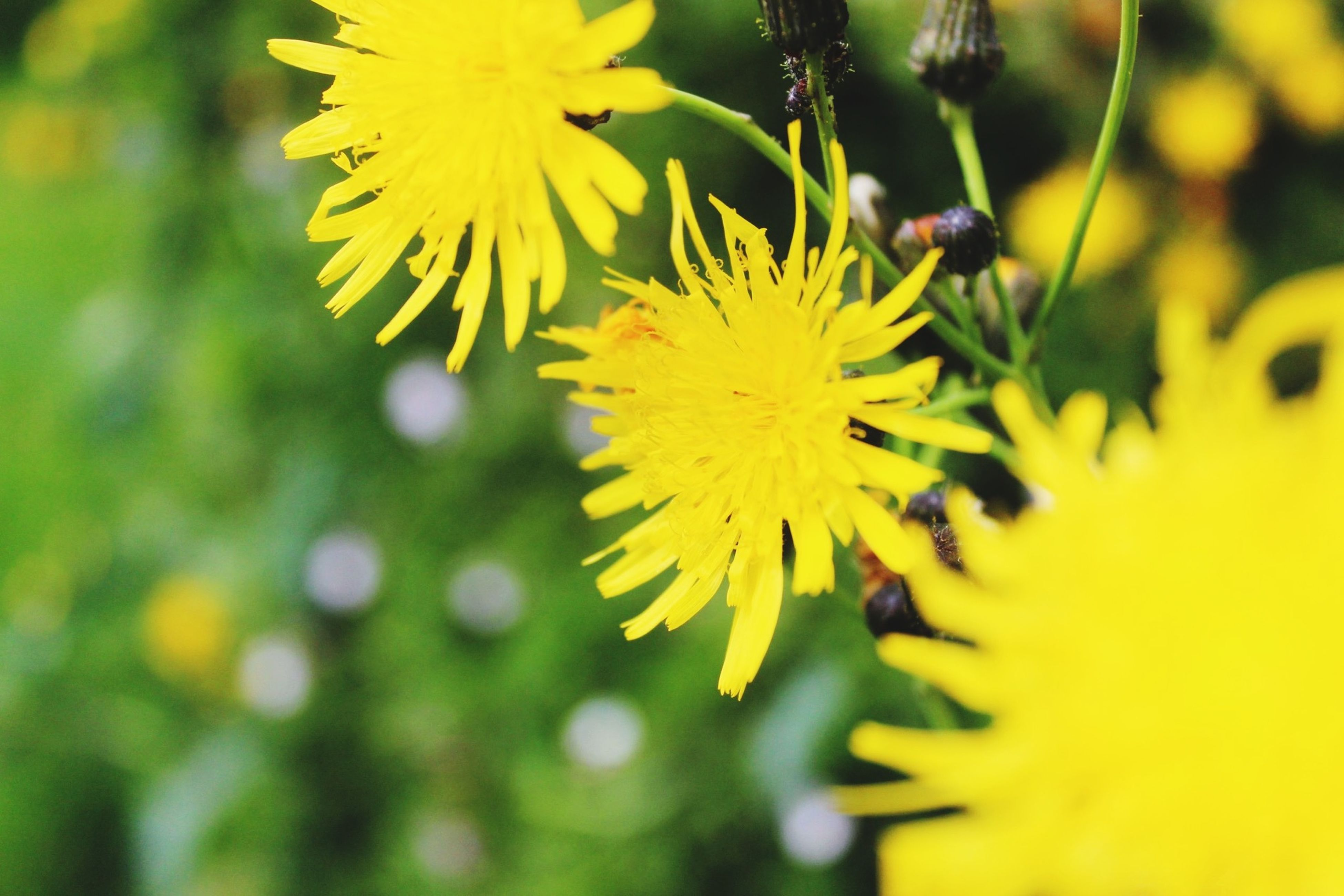 flower, yellow, freshness, growth, fragility, petal, beauty in nature, flower head, focus on foreground, close-up, nature, blooming, plant, in bloom, selective focus, day, outdoors, blossom, park - man made space, botany