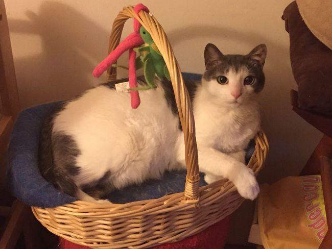 Simple Pleasures In Life Inside No People Home Eyeemphotography EyeEm Animal Lover Maine Rescued Dunster❤️ Feralcat Eyeempets Basket Cat Heated Basket Cats Of EyeEm