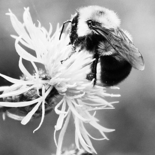Bumblebee Remix... Rebelsunited_nature Rebels_united Rebel_bnw Bnw_magazinemembersonly rsa_bnw rsa_ladies ptk_bnw pictures_to_keep igblacknwhite ig_photolove tgif_insects tgif_bnw bnw_add ig_energy_bw bnwshots bnwworldwide bnwshots master_shots