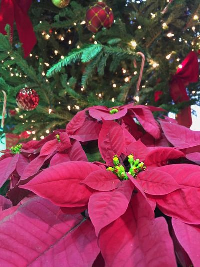 The holiday glow. The Culture Of The Holidays Poinsettia Christmas Tree Christmas Lights Poinsettia Plants Red And Green Holidays Poinsettia With Christmas Tree The Holiday Glow