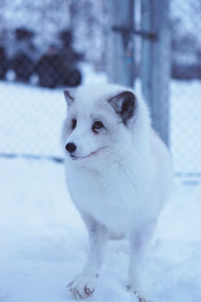 """""""What did the fox say?"""" -Ylvis Winter Wintertime White Fox Fox Animal Animal Photography Snow Covered Cute Too Cute White Fur Close-up Looking Away - Traveling in Norway"""