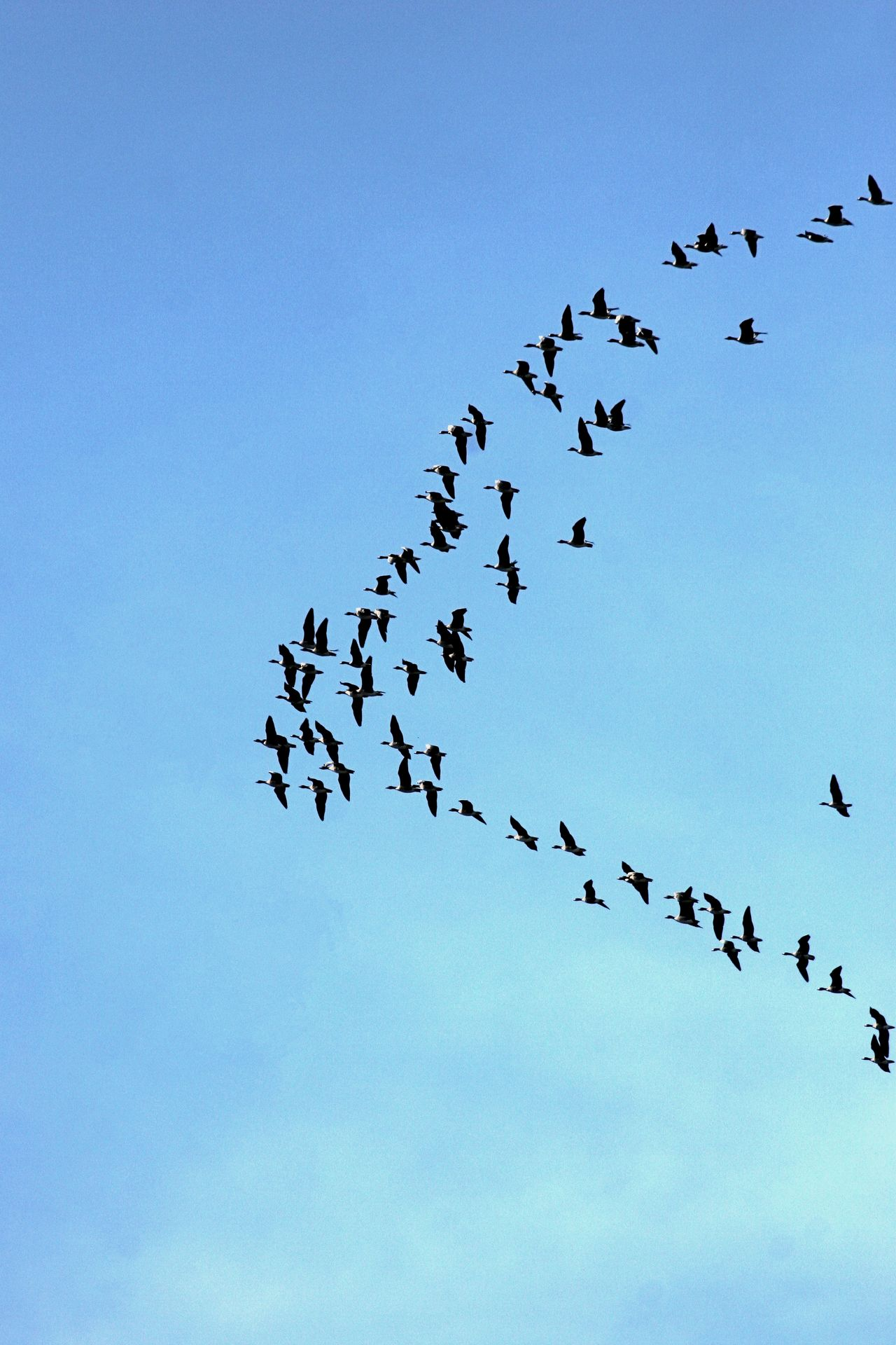 Animal Themes Animal Wildlife Animals In The Wild Beauty In Nature Bird Day Flock Of Birds Flying Going South Large Group Of Animals Low Angle View Mid-air Migrating Nature No People Outdoors Sky Togetherness Wild Geese Wildlife
