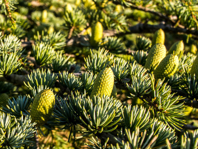 Beauty In Nature Botany Branch Cedar Cedrus Cone Crimea Day Focus On Foreground Green Green Color Macro Nature No People Outdoors Plant Selective Focus Sevastopol  Sun