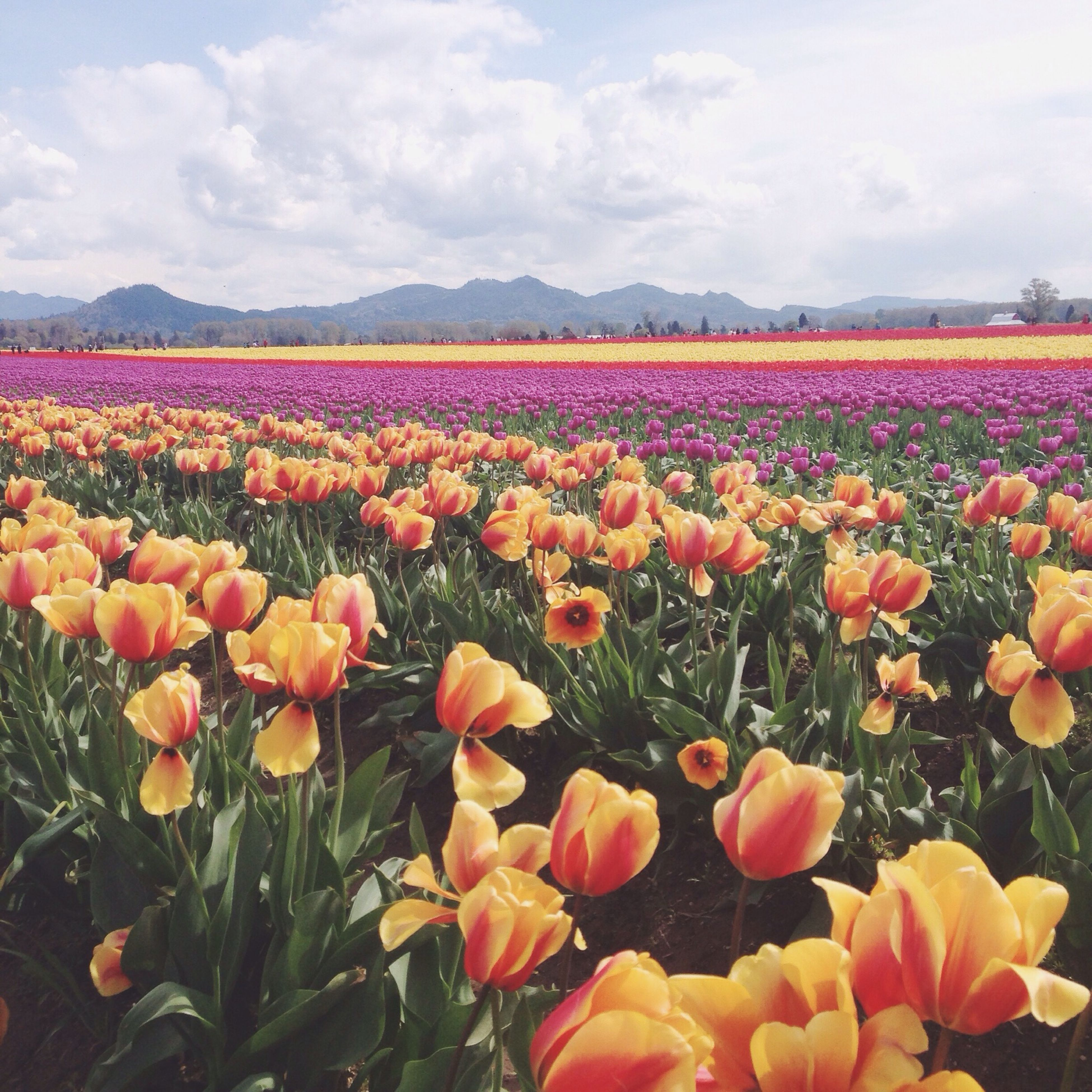 flower, field, freshness, beauty in nature, fragility, sky, growth, landscape, nature, blooming, petal, cloud - sky, abundance, tranquil scene, plant, scenics, rural scene, tranquility, flower head, tulip