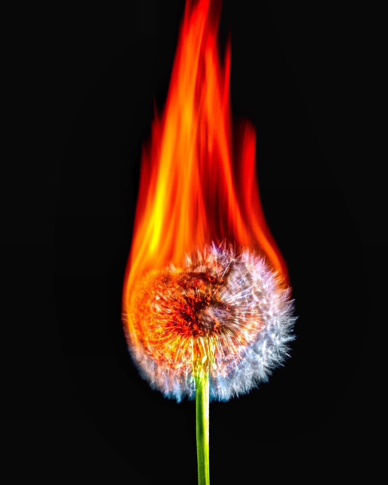 Black Background Flower No People Burning Flame Studio Shot Freshness Nature Red Close-up Flower Head Fragility Night Beauty In Nature Outdoors Ireland