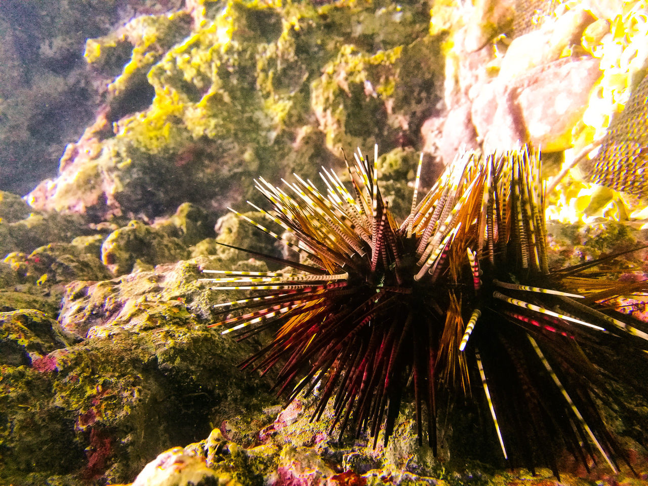 Animal Themes Beauty In Nature Close-up Coral Day Genus Murex Nature No People Outdoors Sea Sea Life Spiny, UnderSea Underwater