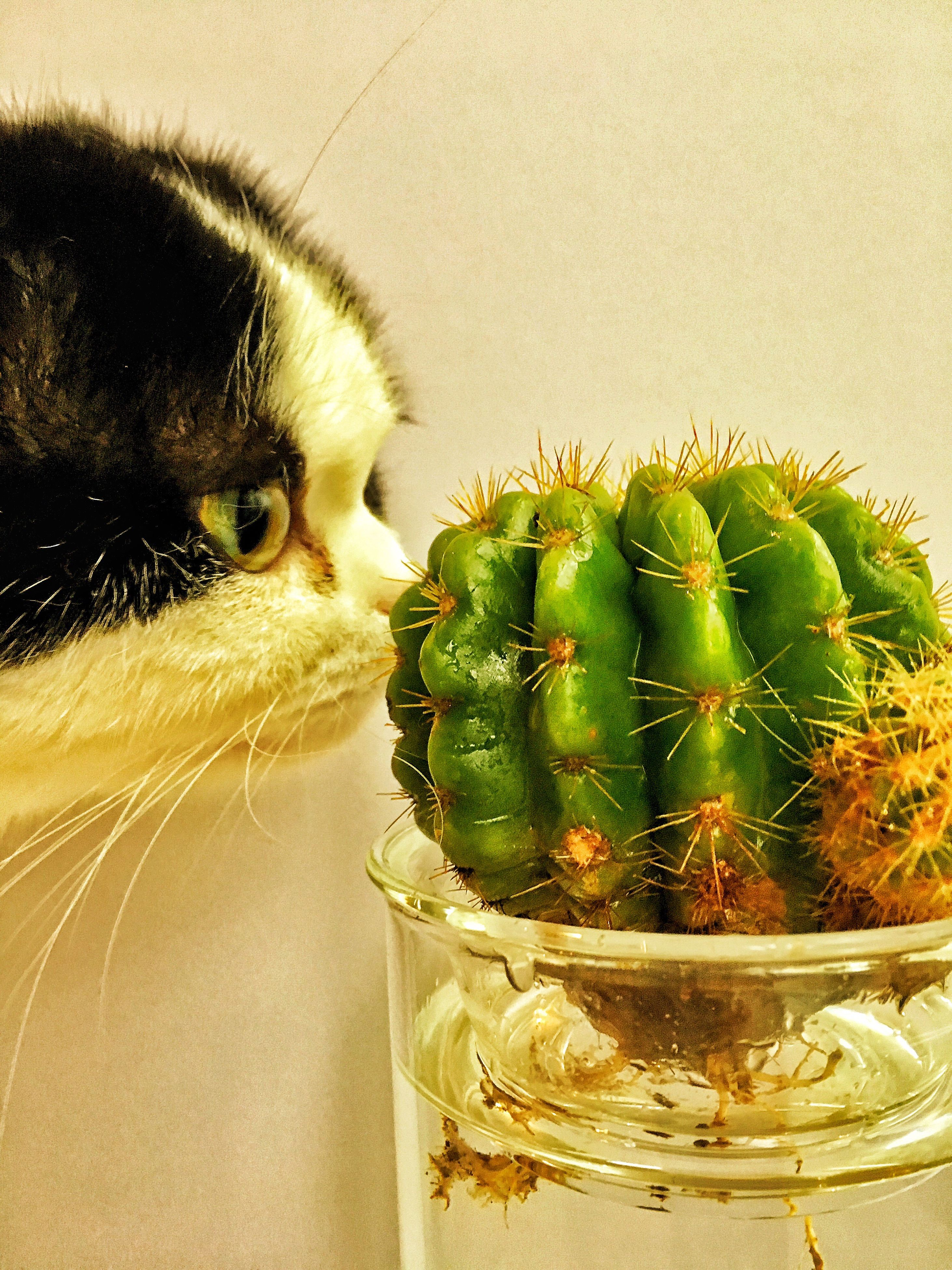 indoors, potted plant, sharp, close-up, spiked, cactus, domestic cat, animal themes, pets, plant, thorn, one animal, animal head, green color, domestic animals, cat, feline, whisker, mammal, selective focus, houseplant, no people