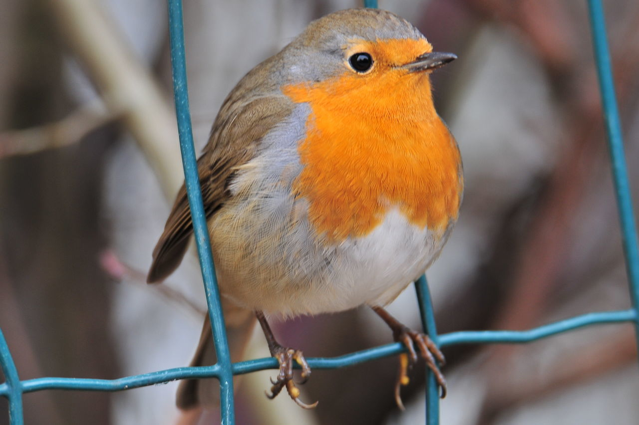 Bird Animal Wildlife Animal Themes Outdoors Nature Forest Mountain Nature No People Animal Pettirosso Ig_emilia_romagna Vivoemiliaromagna Beauty In Nature Perching One Animal Close-up Animals In The Wild Robin Day Animals In The Wild Igersemiliaromagna Igersbologna